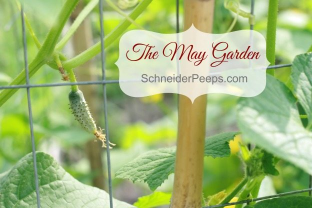 The zone 9 May garden is full of green and blooms. We're starting to harvest the warm loving vegetables like summer squash, tomatoes and cucumbers.
