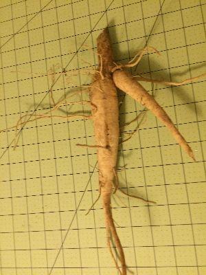 Moringa-Root1