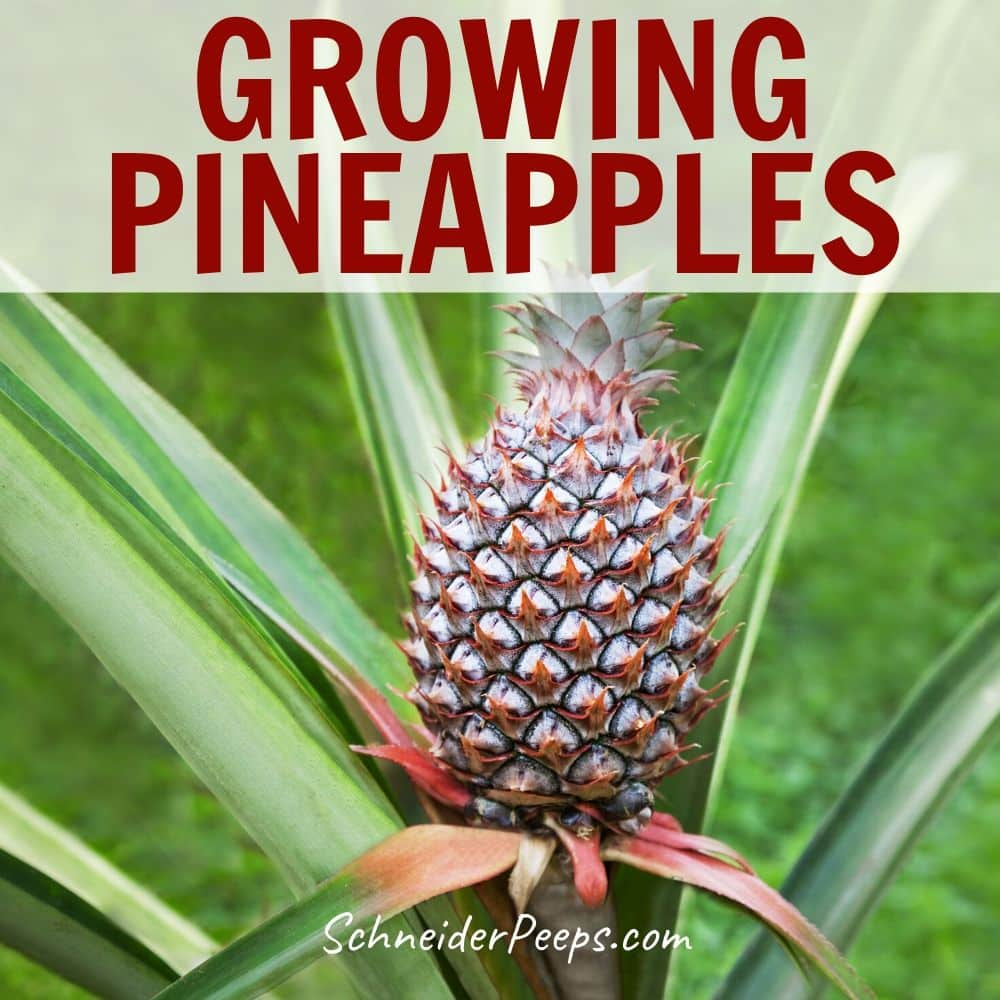 image of a pineapple growing on plant