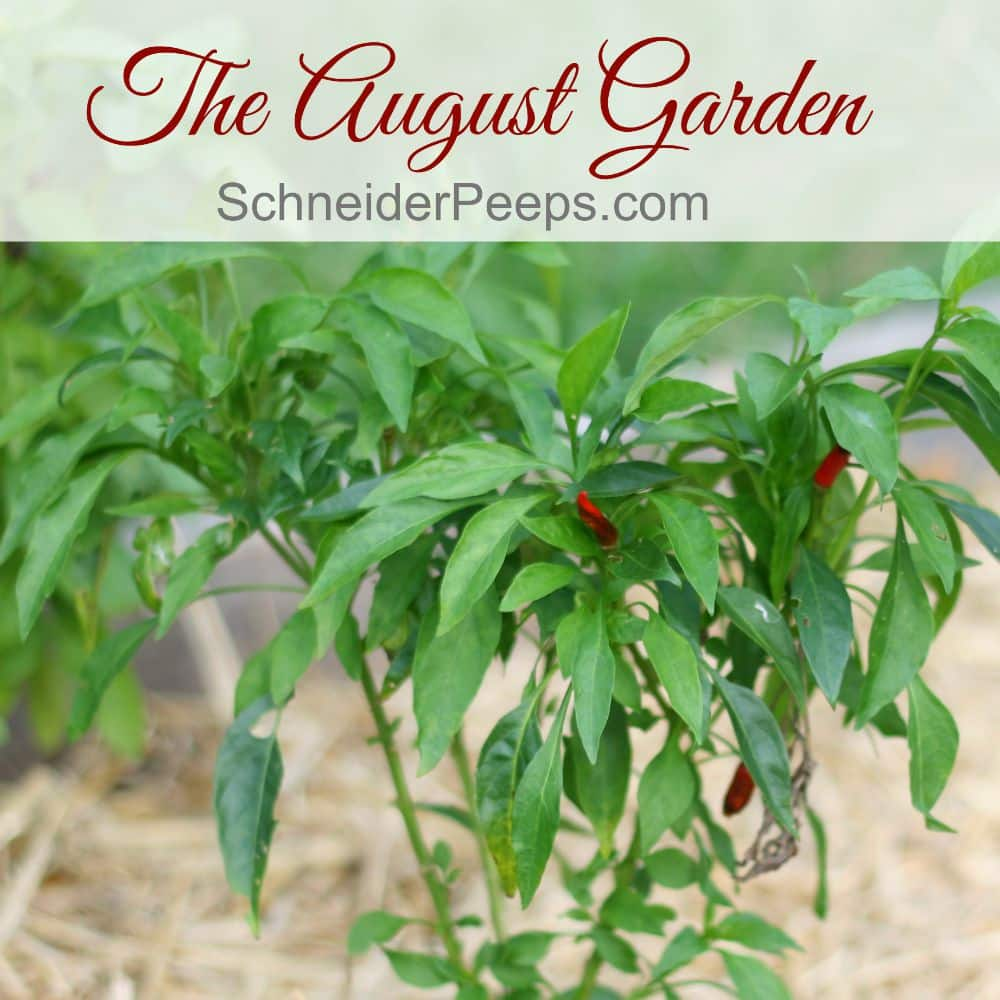 The zone 9 August garden is sparse but that doesn't mean nothing is happening. Join us for a little garden tour.