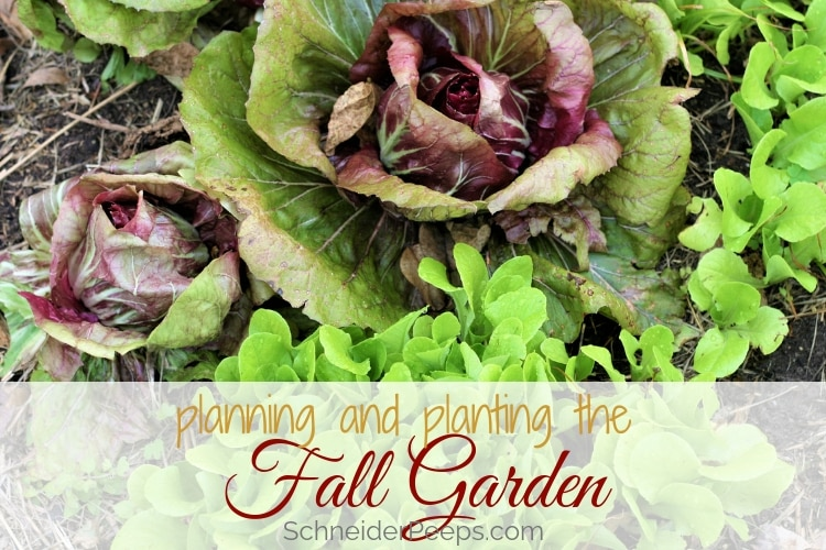 image of lettuce in fall garden