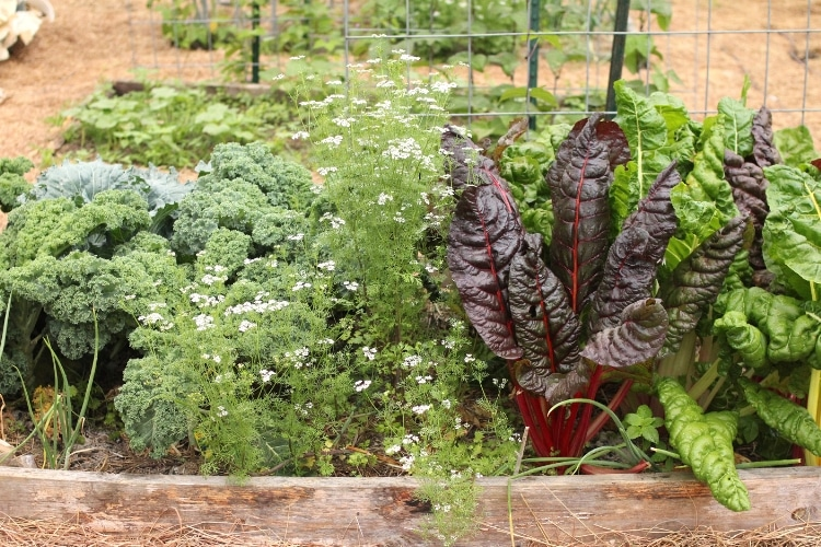 image of spring garden bed with swiss chard, kale and flowering cilantro.