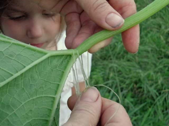 Preparing squash leaves