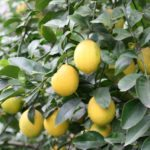 In the garden…growing citrus