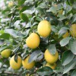 In the garden…growing citrus