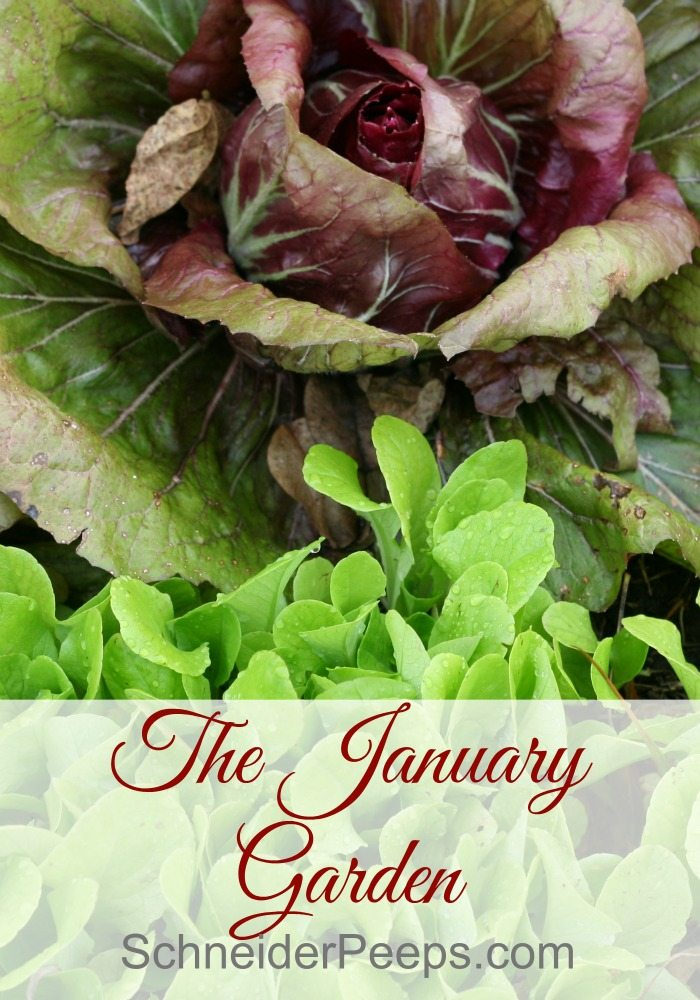 The zone 9 January garden is full of goodness. This is usually our coldest month and the winter vegetables love the cooler temperatures. Come see what's in our garden this January.