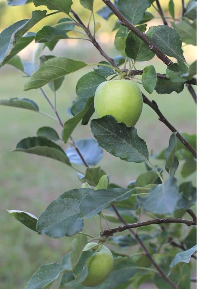 image of green apples growing on apple tree