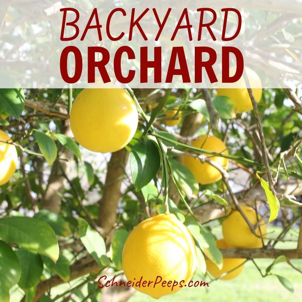 image of meyer lemons growing on lemon tree