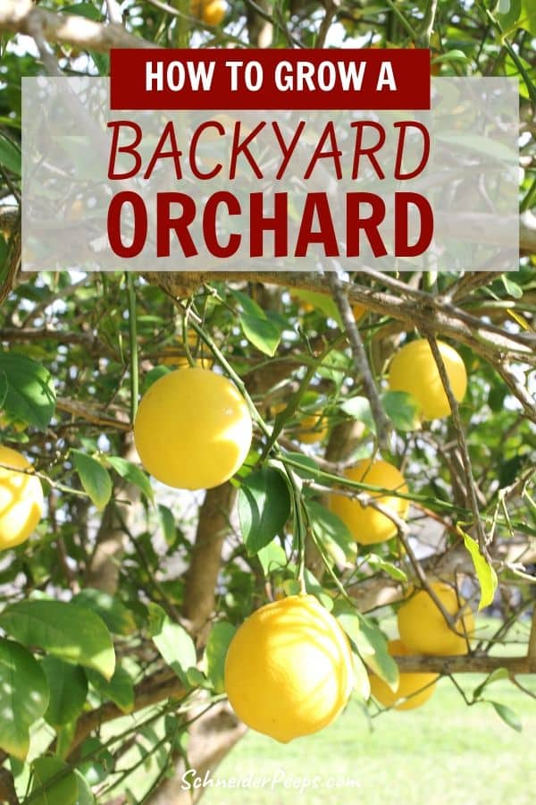 image of Meyer lemons growing on lemon tree in backyard orchard