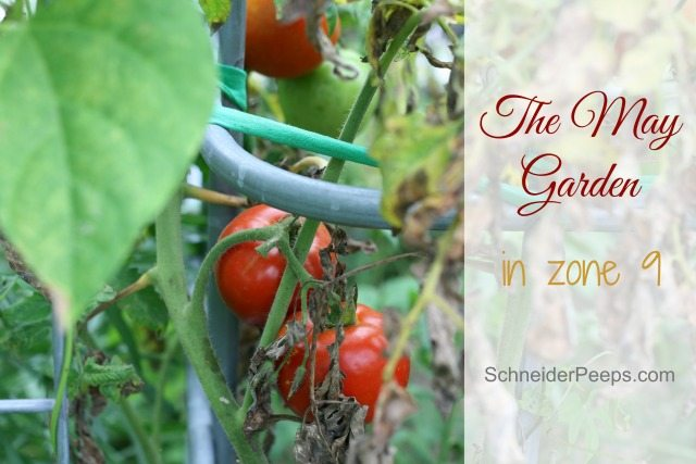 The May garden in zone 9 is full of goodness. We're starting to see a few pests and problems but the harvest baskets are full. Come see what's going on and celebrate with us.