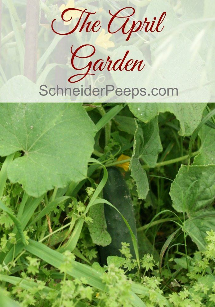 The April garden in a zone 9 growing climate is just being to produce those heat loving vegetables. Find out what you can be harvesting in April.