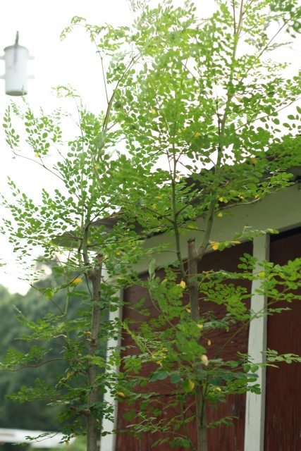 image of tall moringa trees growing near barn