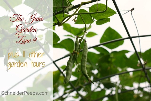 The June garden in zone 9 is usually full of things to be harvested. Come take a garden tour with us and 11 other garden bloggers.