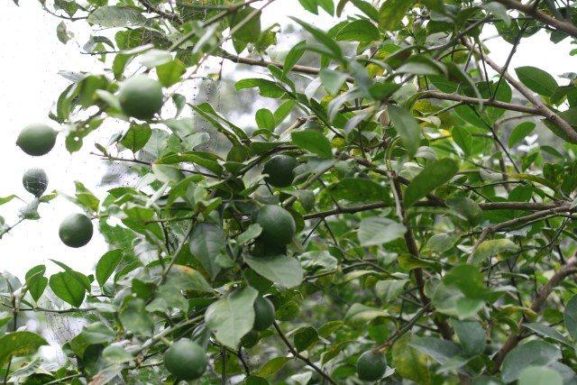 SchneiderPeeps - Lemon tree