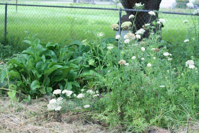 SchneiderPeeps - carrot blooms