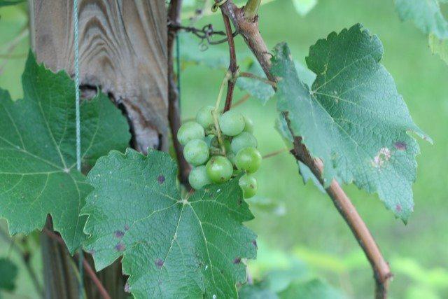 SchneiderPeeps - grapes