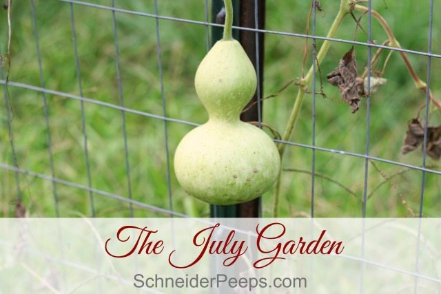The July garden in zone 9 is a tired garden but still have a few things left to harvest. Most of our time is spent deciding what we need to just let go and what we need to give special attention to.