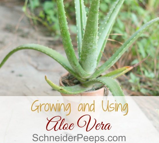 In the Garden….Growing Aloe Vera
