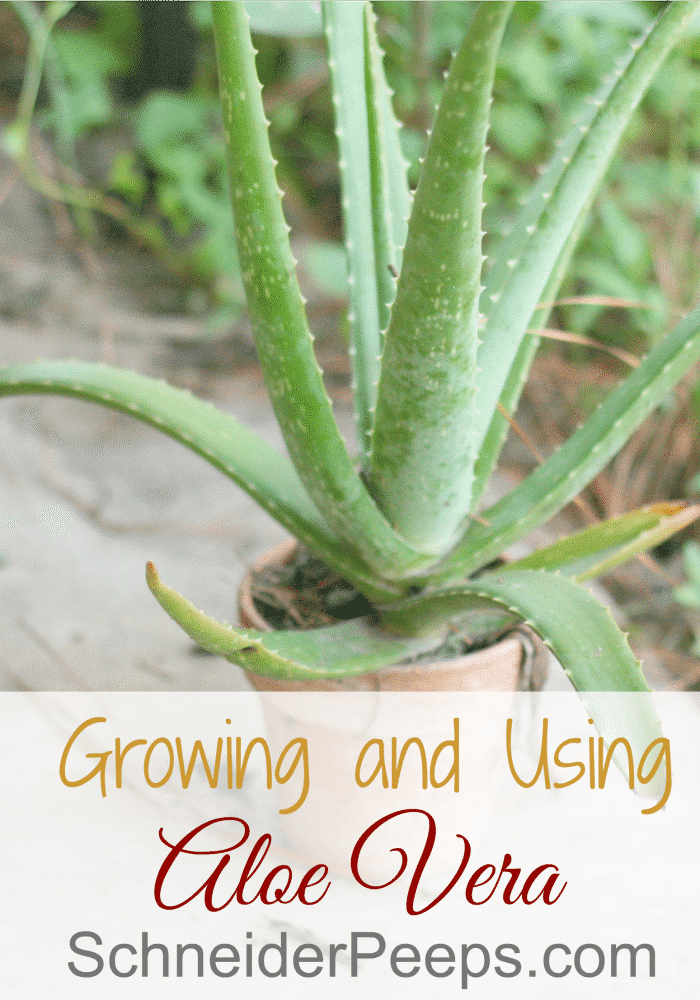Every house should have an aloe vera plant. Not only is it good for burns but it's also good for other skin conditions. Learn how to grow and use aloe vera in this article.