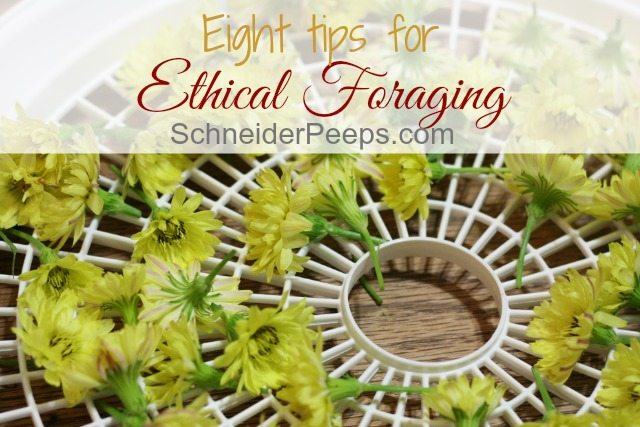Ethical foraging ensures that there will be edible and medicinal wild plants available in the future. It also means protecting your family, the environment and the plants.