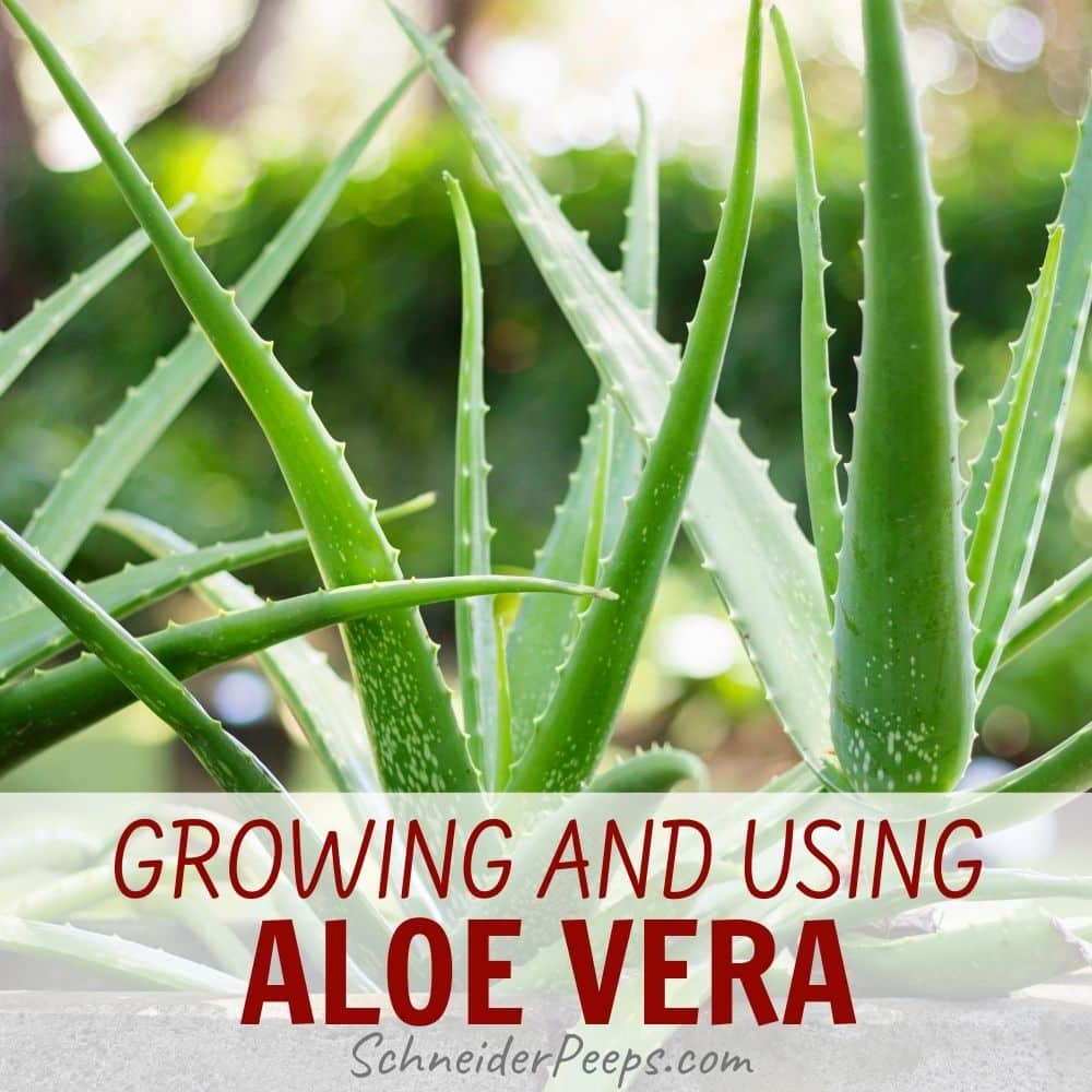 aloe vera plants growing in a container