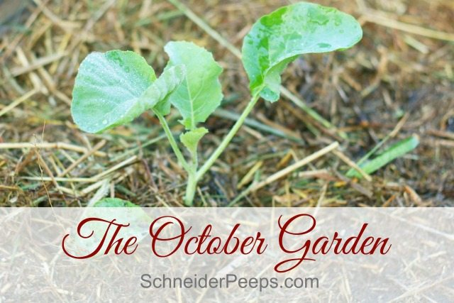 The October garden in zone 9 is one of beginnings. The heat has finally broken and we can plant some cool weather crops. But we still have a bit of summer hanging on.