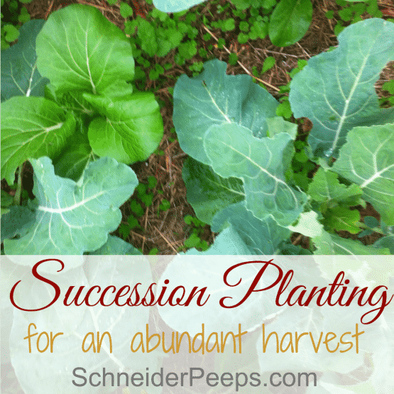 Succession planting for a more bountiful harvest