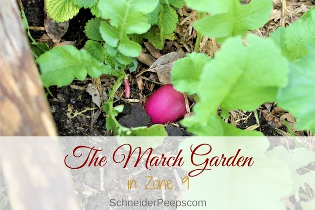 The March garden in zone 9 is usually full of a lot of summer seedlings with some hang over plants from the winter garden lingering on. It's a great time.
