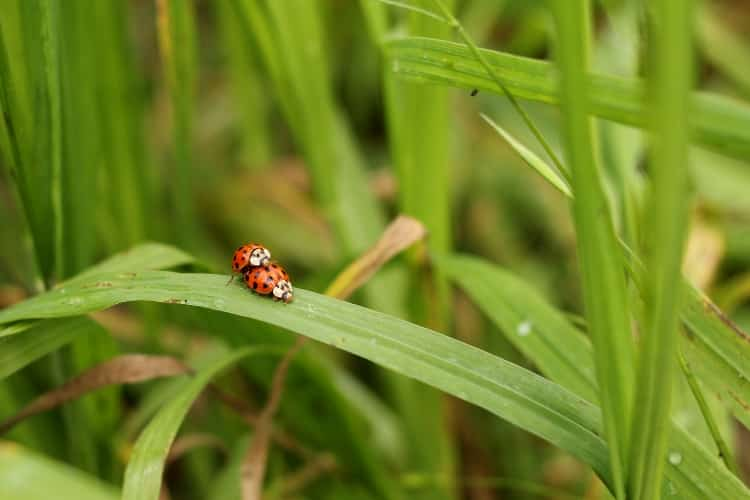 image of ladybugs mating on blade of grass