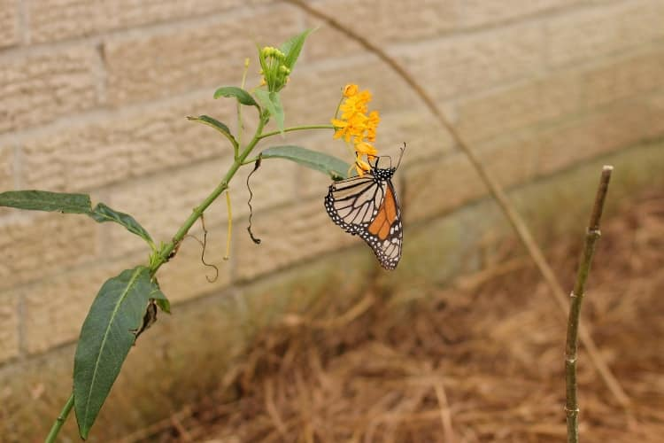 image of monarch butterfly eating nectar from milkweed flower