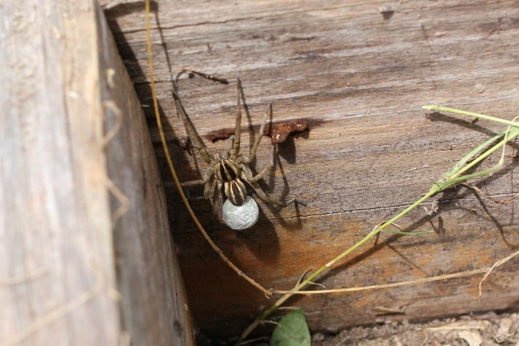 image of wolf spider with large white egg sac