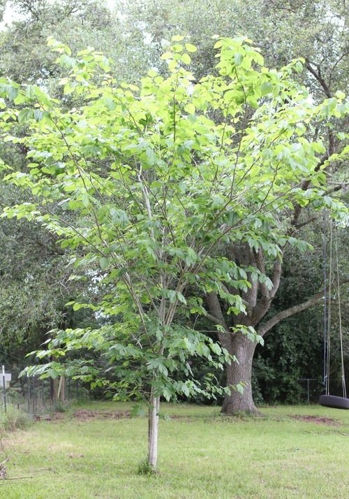 This four year old mulberry tree is about 15' tall and has been producing mulberries for two years.