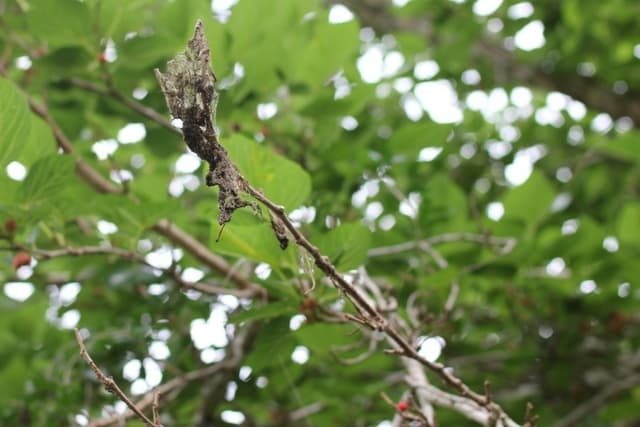 Web worm damage on a mulberry tree.