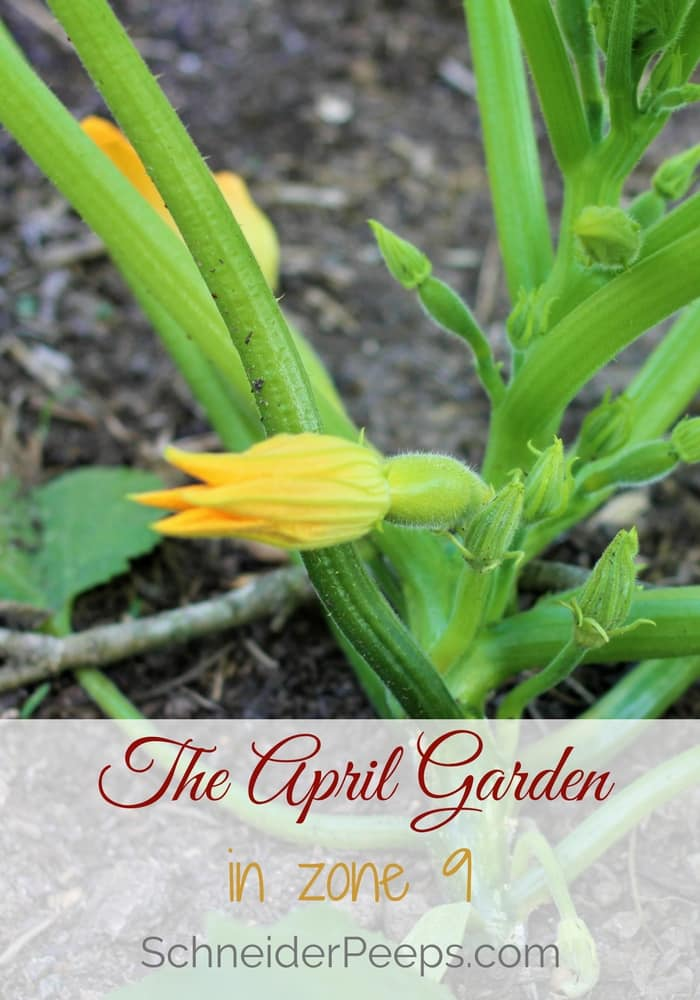 The April garden in zone 9 is truly delightful. The plants are just beginning to produce, the heat hasn't come yet and neither have the pests. Enjoy the tour of summer squash, tomatoes, green beans, herbs and more!
