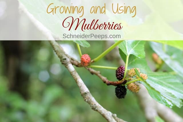 Mulberry trees are a wonderful addition to the family orchard.
