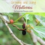 Grow Your Own Mulberry Tree - A mulberry tree is a must for your homestead or backyard. Mulberry trees are fast growing shade trees and provide food for your family and fodder for chickens, ducks, goats and other livestock.