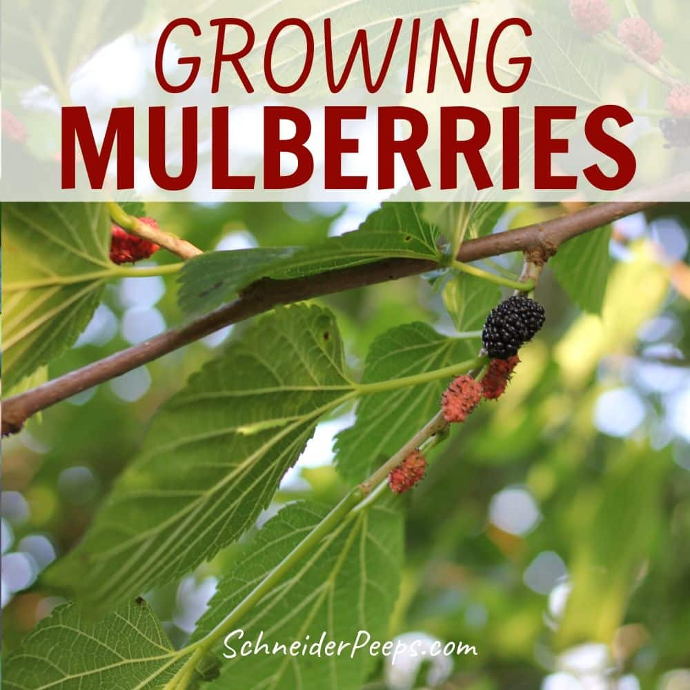 Growing A Mulberry Tree And How To Use Mulberry Leaves Branches