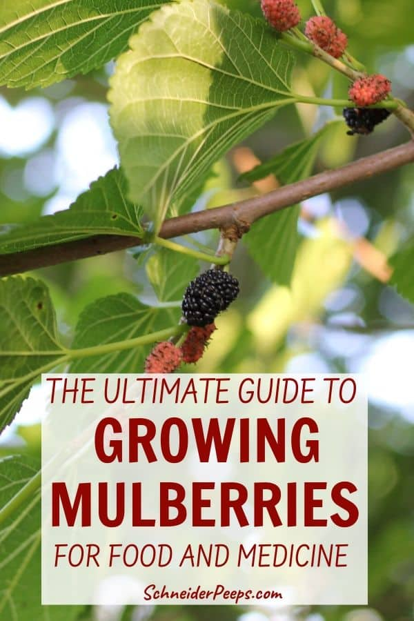 image of mulberries growing on mulberry tree