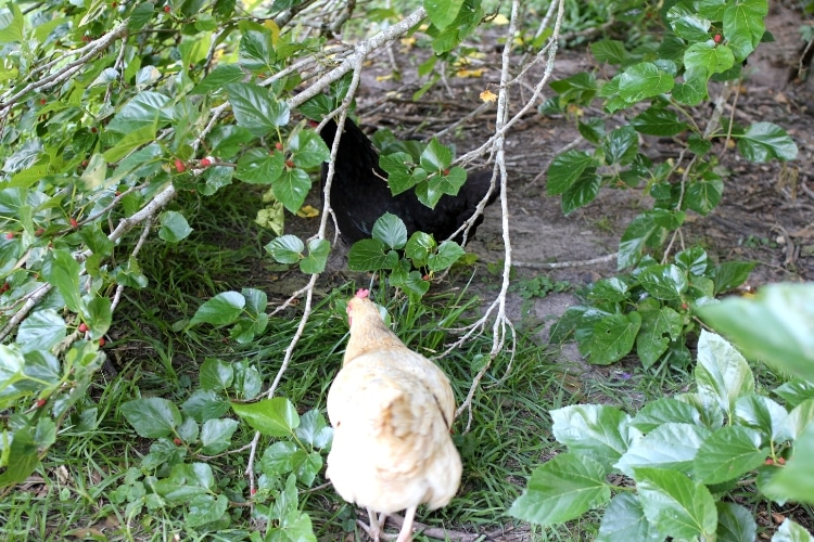 image of hens foraging under mulberry tree
