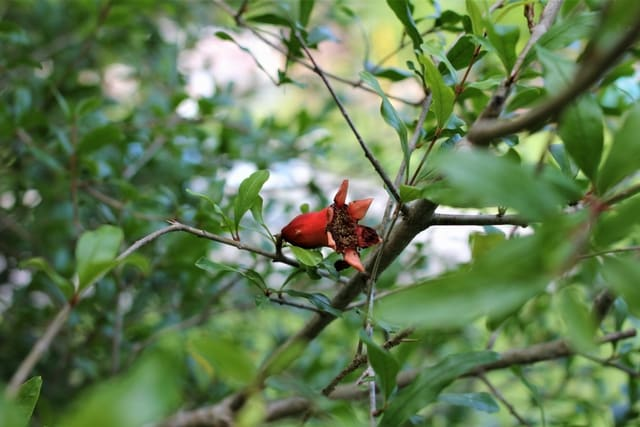 Pomegranate in the April garden