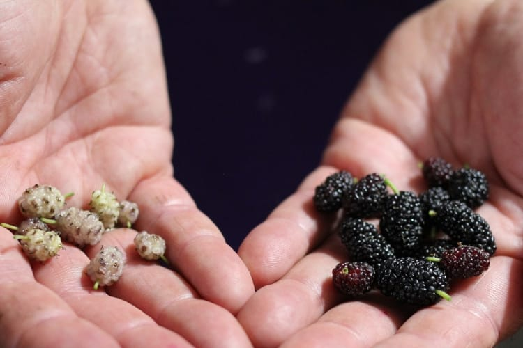 image of open hands with white mulberries in right hand and black mulberries in left hand.