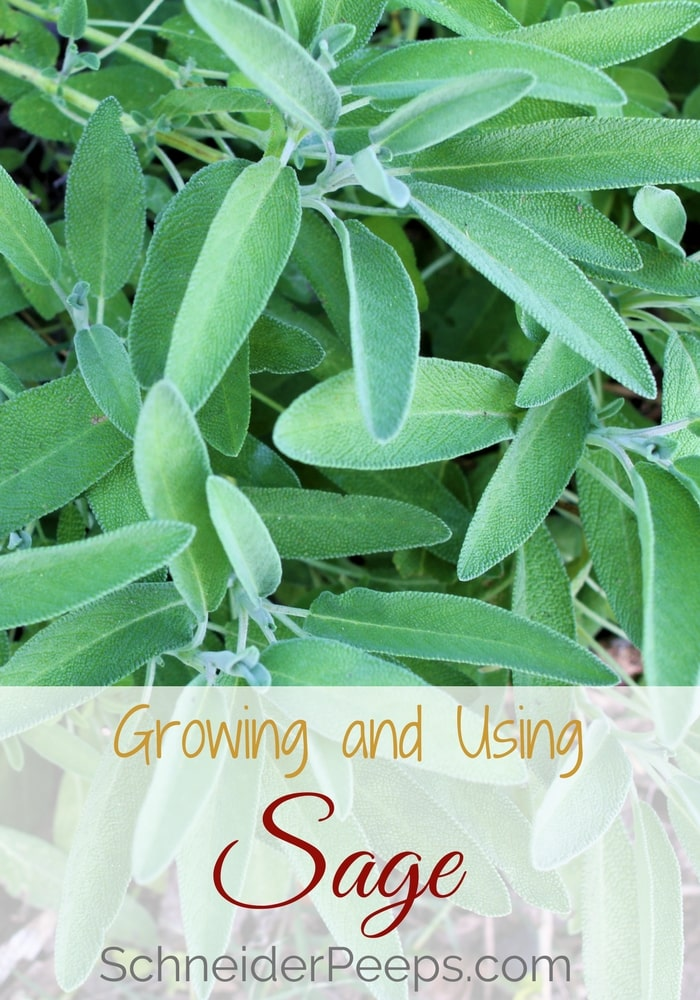 Growing sage in your home garden will ensure you have enough to use for cooking savory and sweet dishes and use medicinally. Sage is good for skin care, women's hormones, and cold and flu season. Learn how to grow and use sage in this article.