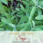 Growing and Using Sage