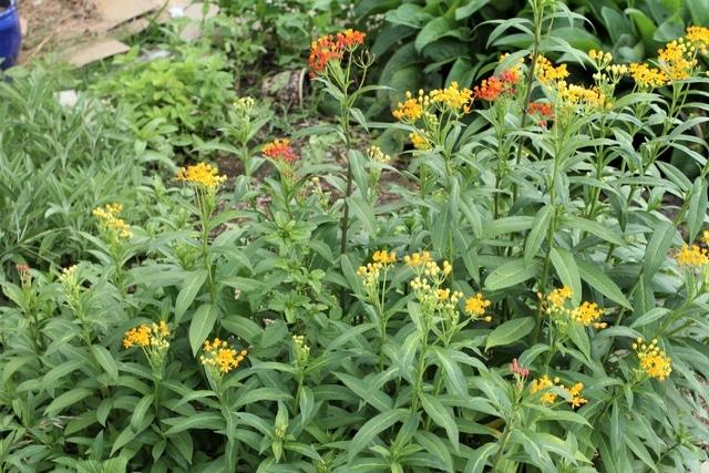 milkweed in the May garden