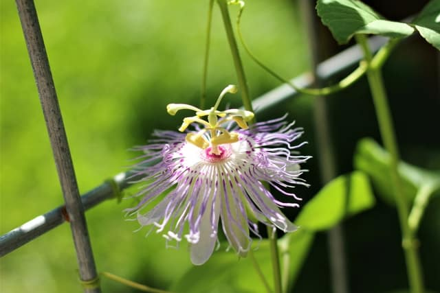 passion flower in the May garden