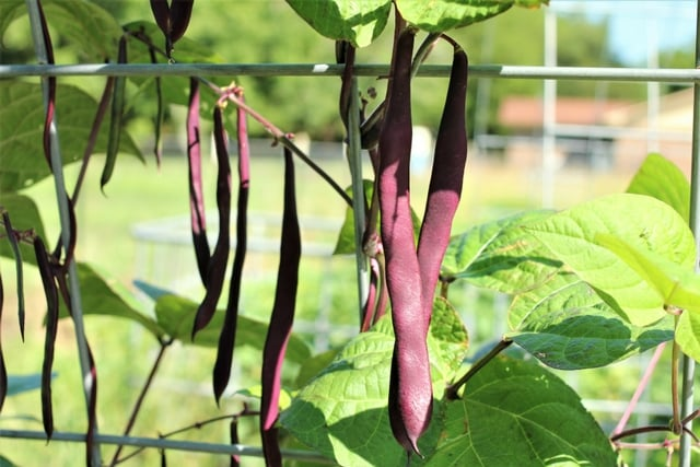 Purple podded pole beans in the May garden