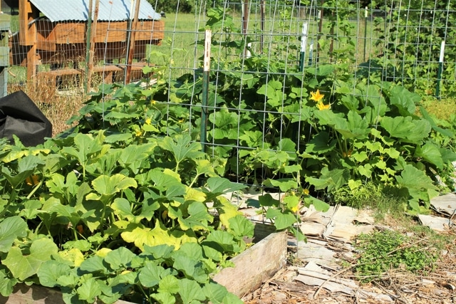 squash patches in the May garden