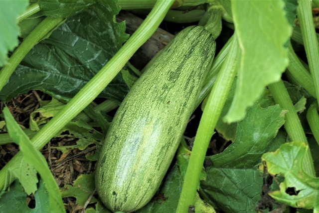 Caserta squash in the May garden