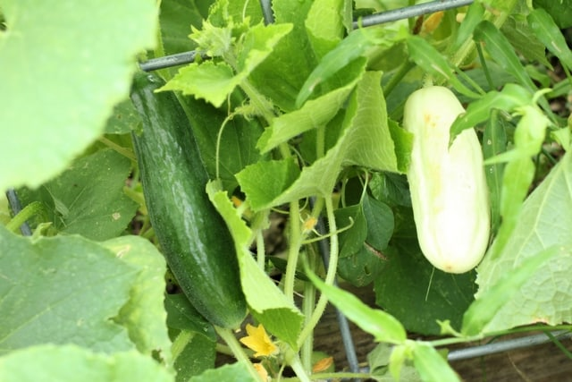 white cucumbers in the May garden