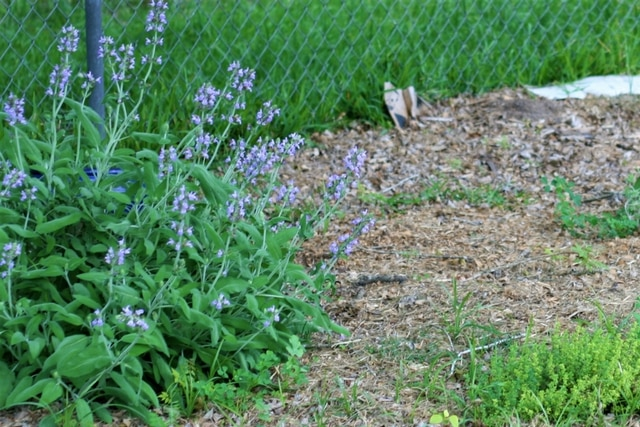 Growing sage helps the bees have plenty to forage